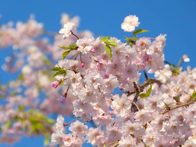 【2018年】桜観光名所「円山公園」の見頃の桜がヤバすぎる件