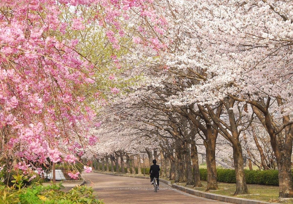 桜 時期 京都