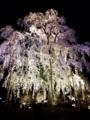 『京都新聞写真コンテスト 円山公園の枝垂桜』