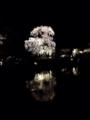 『京都新聞写真コンテスト 東寺の夜桜』
