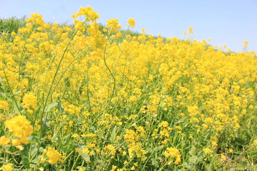江戸川の土手の菜の花