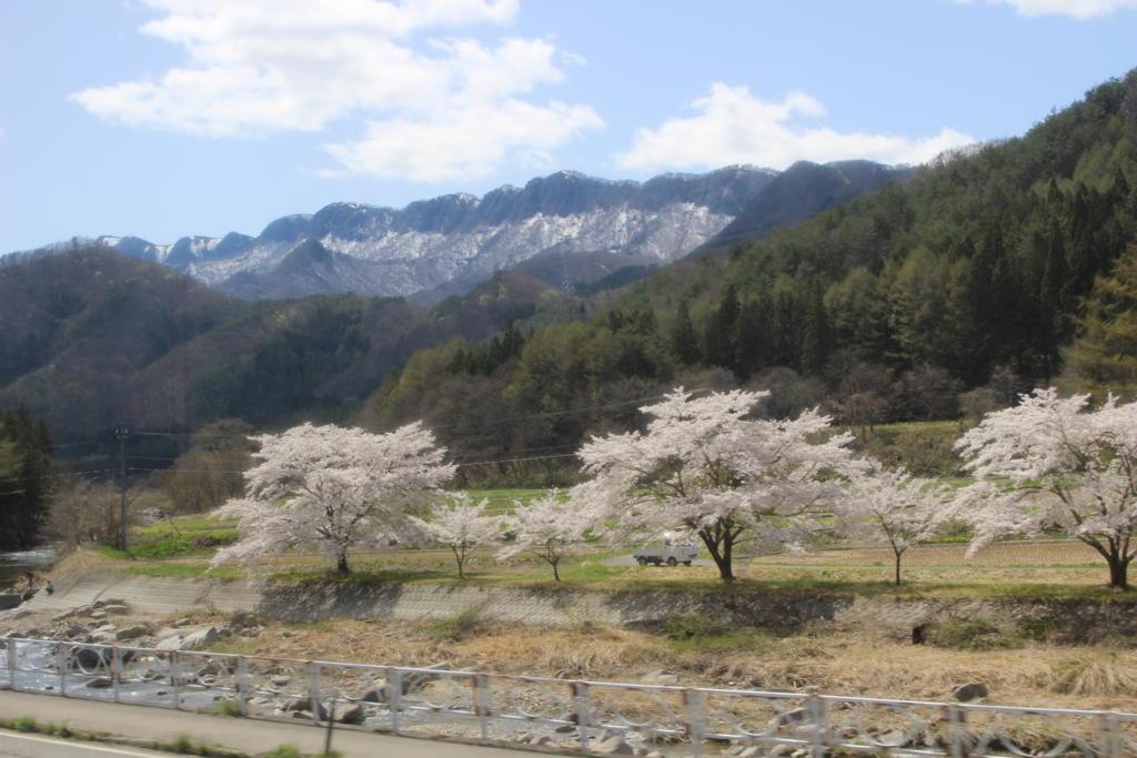阿賀川とサクラ