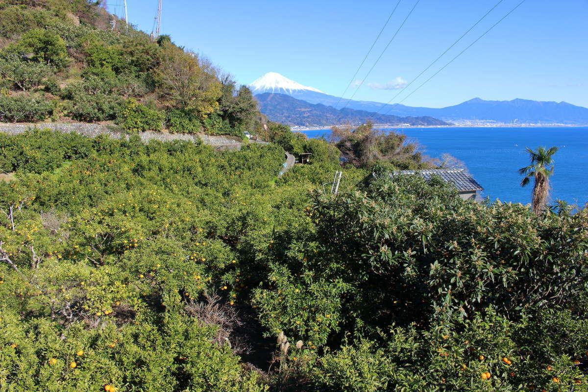 ミカン畑と富士山の静岡らしい風景
