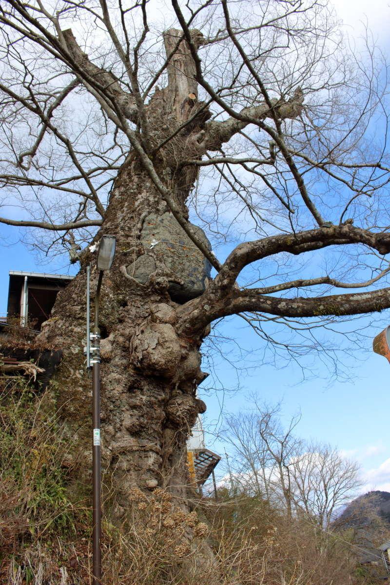 天然記念物、樹齢600年の「神代ケヤキ」