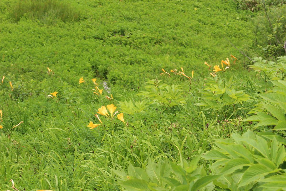 弥陀ヶ原の高山植物「ニッコウキスゲ」
