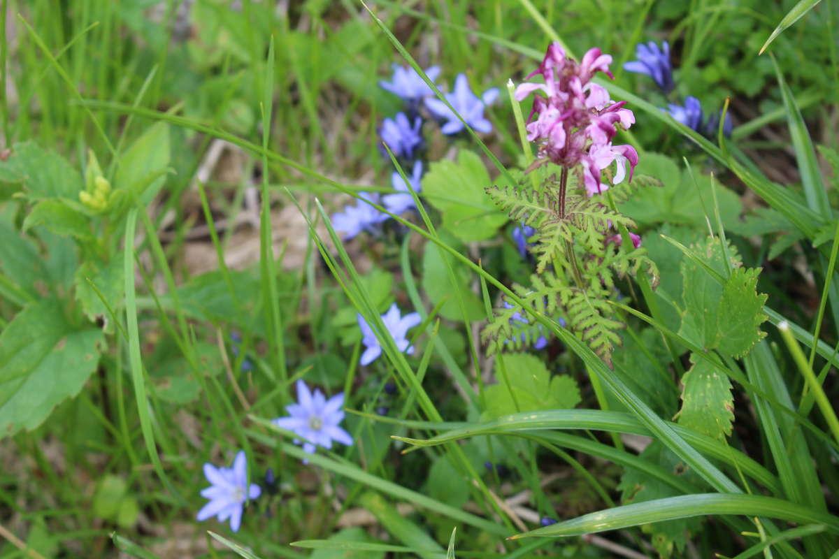 紫色が「ヨツバシオガマ」、薄い青色は「ミヤマリンドウ」