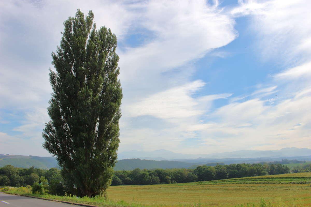 美瑛の丘にポツンと立つポプラの木「ケンとメリーの木」