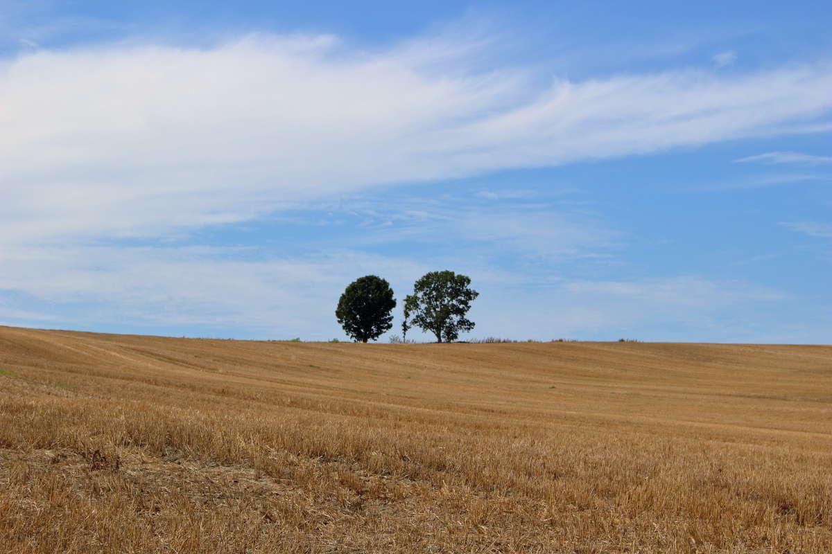 近くの道路から眺める「親子の木」
