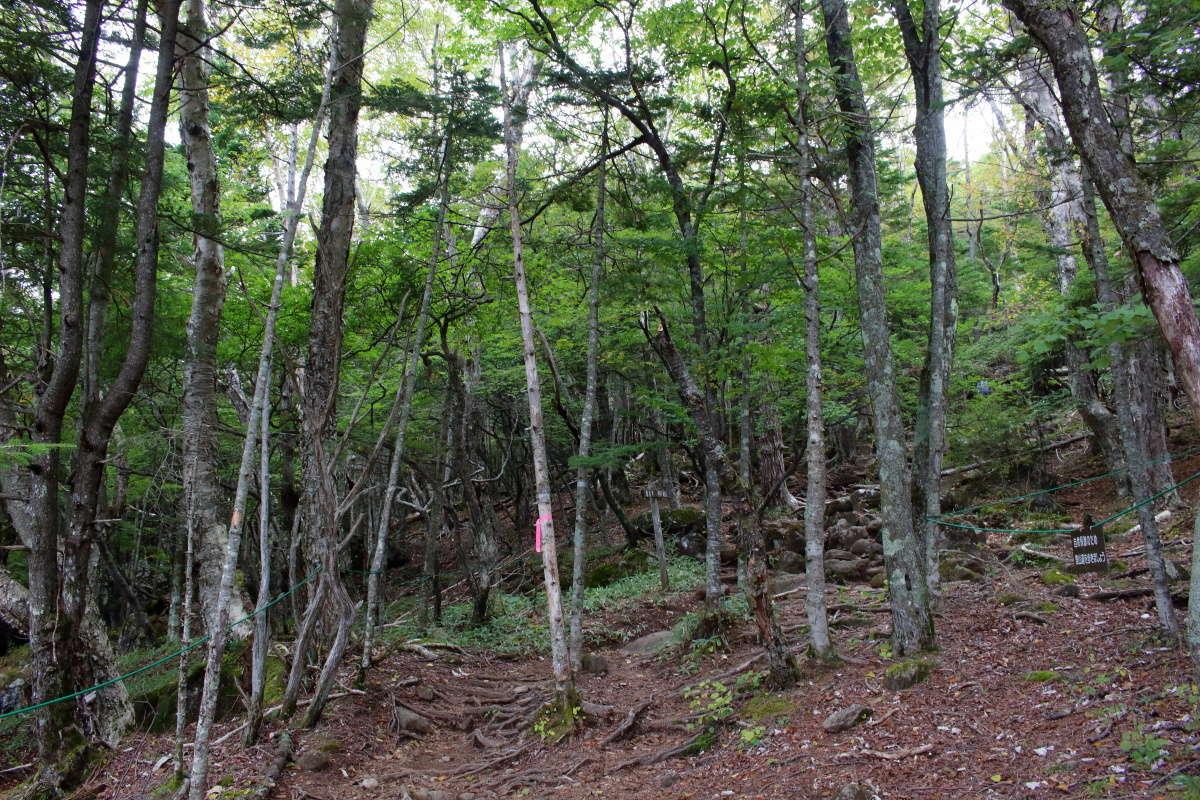 カラマツ林のところは登山道が不明瞭、リボンを手掛かりに
