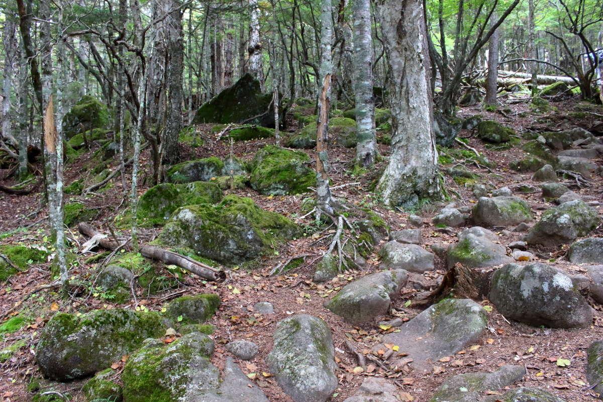 標高が上がると八ヶ岳らしい苔むした岩が増えてきます