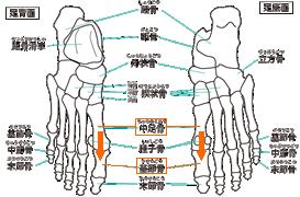 足の骨の構造中足骨と基節骨はまっすぐつながっている