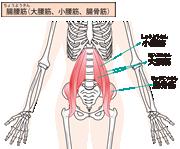 腸腰筋_muscle