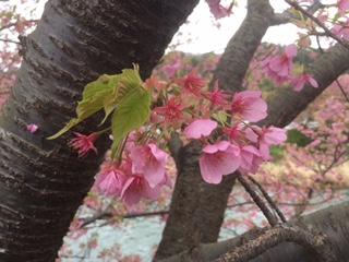 まつり会場の河津桜