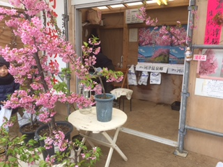 河津桜の苗木が販売されていました