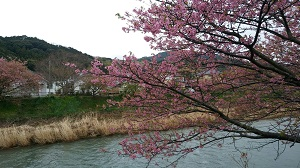 河津桜まつり。見頃は過ぎた上にあいにくの空模様でしたが、雰囲気は楽しめましたよ。