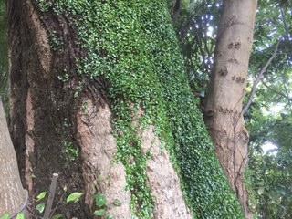 木の中から水の流れが聞こえてきそうな老木
