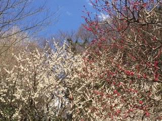 熱海梅園 梅まつり 遅咲きの梅がまだ咲いていました