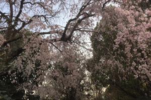 ほとんど葉桜になっていましたが、中にはまだ花を見られる木も。