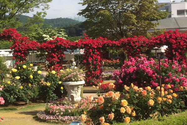 見頃のバラはバラは500種、2500株