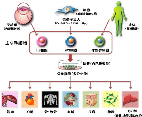 幹細胞は自己増殖能と様々な細胞に分化する能力(多分化能)を持つ特殊な細胞でES細胞、IPS細胞、生体幹細胞などがある。