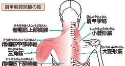 肩関節の構造と筋肉