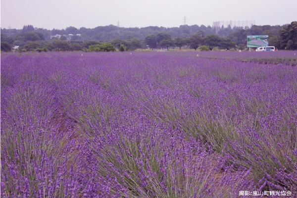 嵐山町観光協会からお借りした写真です。このようにきれいなラベンダー畑が!