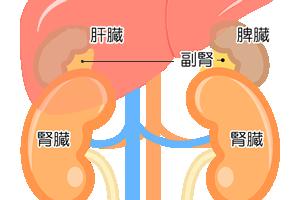 *副腎は腎臓の上にある3cm程度の小さな臓器。左右に1つずつある。