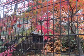 隣の空き地の紅葉が見事