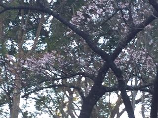 五分咲きの彼岸桜