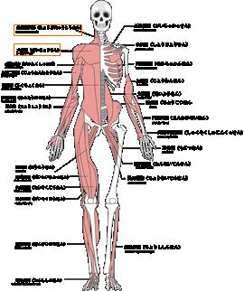 参考:主な全身の筋肉