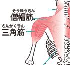 首まわりの筋肉:胸鎖乳突筋、僧帽筋、斜角筋、三角筋、頸板状筋