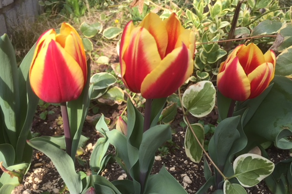 花散歩~ワンコと一緒に近所のお花めぐり、チューリップも咲いた・咲いた