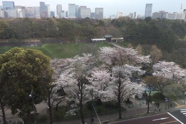 平成最後のお花見は新元号「令和」発表日~半蔵門の桜2019