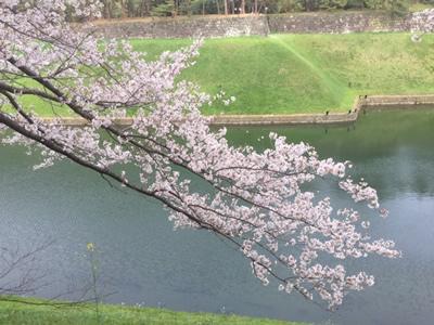 千鳥ヶ淵公園から半蔵壕にかかる桜