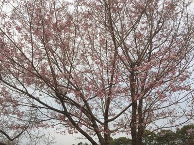 舞姫。ほとんどがソメイヨシノでごく淡いピンクの中、濃いピンクが目立ちます。