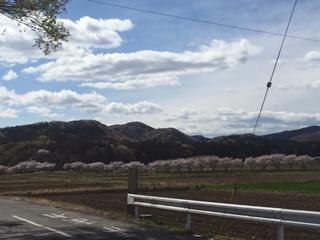 嵐山町、都幾川の桜堤遠景