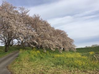 吉見町さくら堤公園。右側緑のところは県道33号線