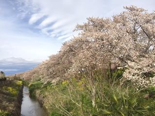1.8kmの桜のトンネル