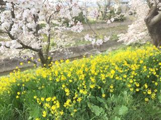 桜と菜の花のコントラストがきれい
