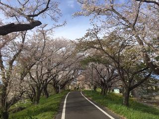 置くまで行けばもっと素敵な桜のトンネルにあえたかな