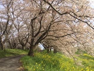 大きな桜の木がたくさん!