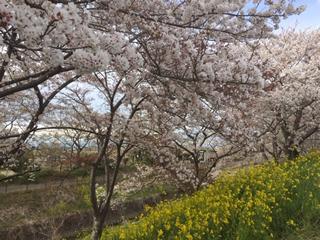 続く桜のトンネル