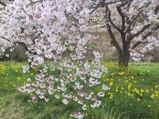 強風で枝が大揺れする桜