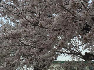 小学校入学式当日の桜
