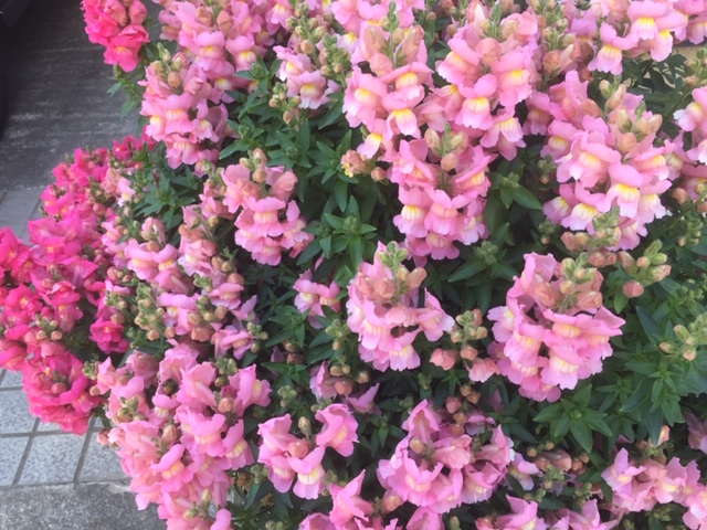 ご近所さんの花たち1