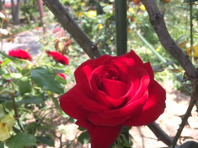 真紅の薔薇と椿のような赤バラ