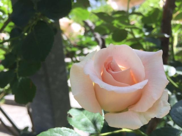 ピンクのばら、オレンジのバラ