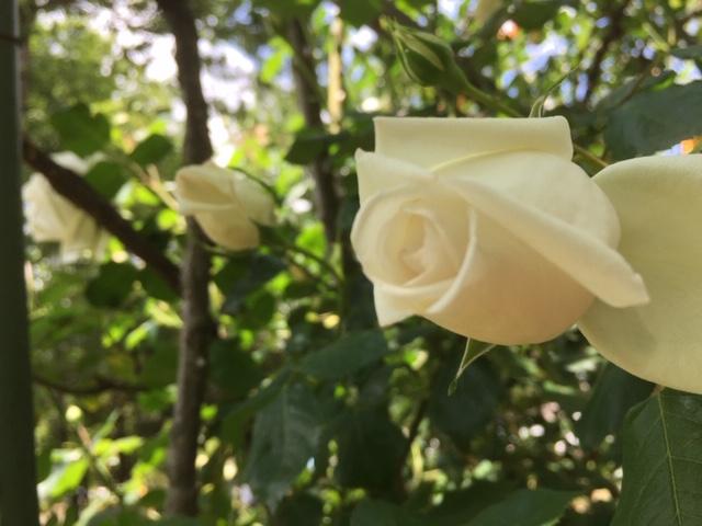 白バラ、赤バラ