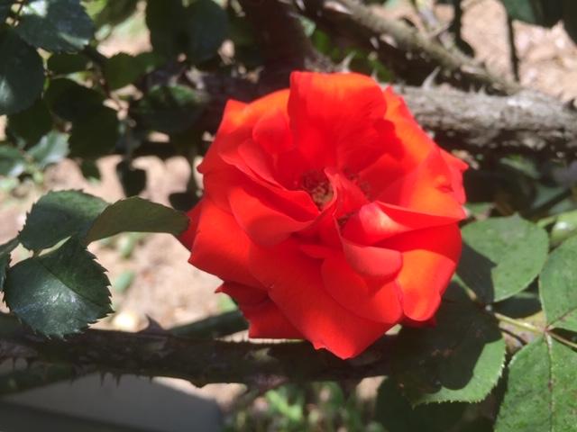 赤オレンジバラ、トンネルアーチ