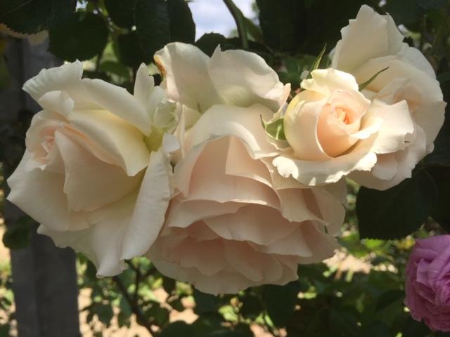 白バラ、黄バラ